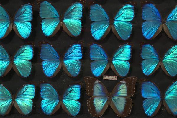 Les ailes de certains papillons présentent la particularité d'être iridescente, un phénomène optique qui explique la chatoyance bleue de ces ailes.