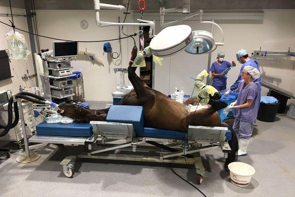 Opération complexe des testicules pour ce cheval.