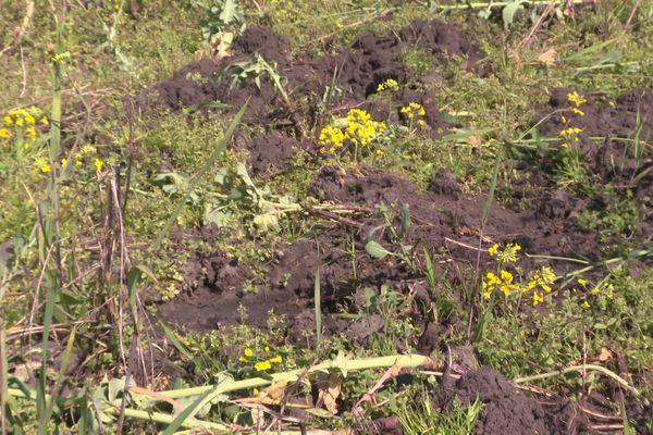 Les sangliers ravagent les cultures. Ici un champ de colza dans une exploitation landaise.