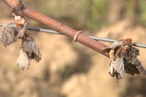Le gel a fait de gros dégâts sur les vignes du Jura.