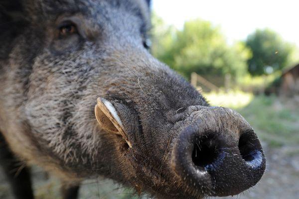 Au terme d'une longue enquête, le 10 juillet, les gendarmes de Haute-Loire ont mis fin à un trafic de sangliers. Un élevage clandestin qui aurait alimenté des chasseurs.