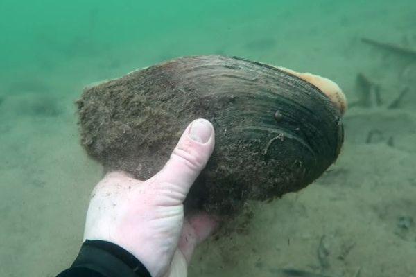 Les moules géantes envahissent les cours d'eau et ont un impact considérables sur la biodiversité - février 2018