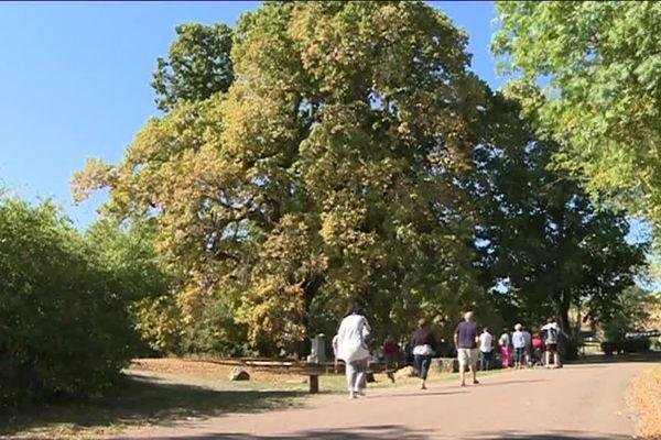 Le tilleul de Chaignay, en Côte-d'Or, a reçu le label d'arbre remarquable