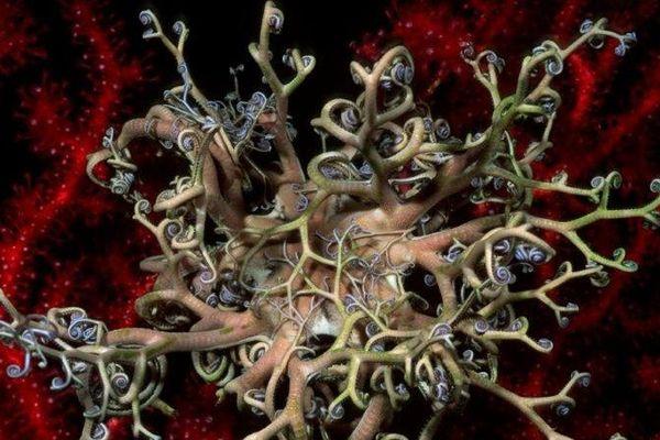 Gorgonocéphale, tête de méduse.