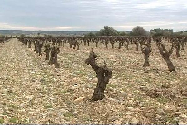Les vignes de Fitou