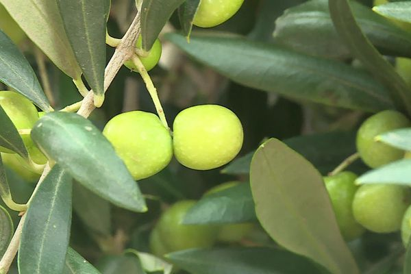 L'arbequina est une variété d'olivier catalan, les olives se cueillent très vite - septembre 2020
