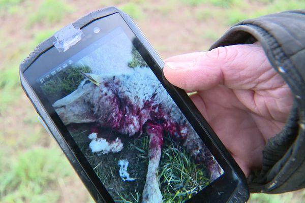 Un loup est probablement passé à l'attaque près de Dole tuant 13 brebis.