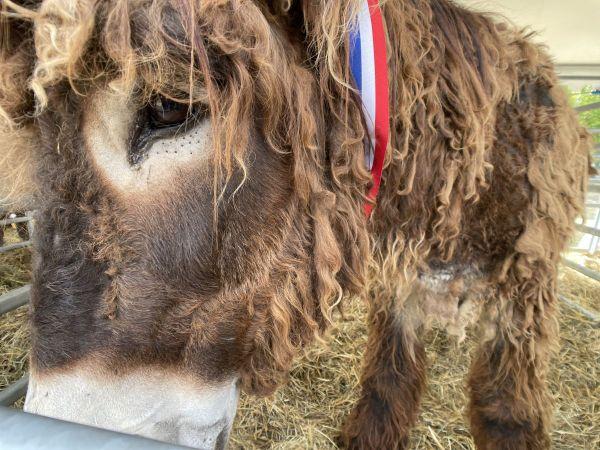 Au Sommet de l'Elevage de Clermont-Ferrand, les ânes sont sous le feu des projecteurs.