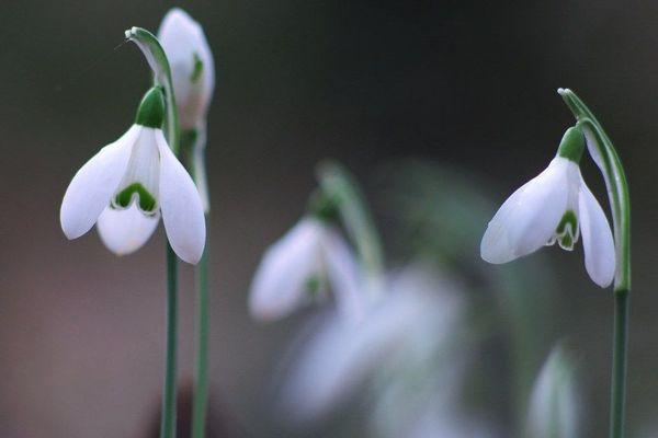 """Perce-neige au pluriel"""