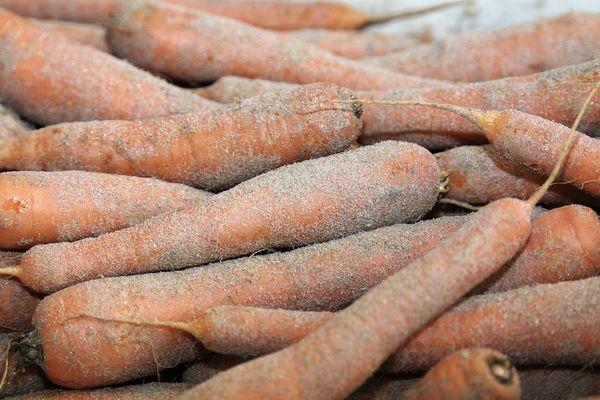 Plus de 50 000 tonnes de carottes poussent dans le sable à Créances, la moitié de la production du département.