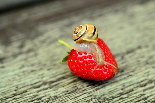 Une demi-tonne d'escargots devrait être consommée ce week-end à Boisseuil