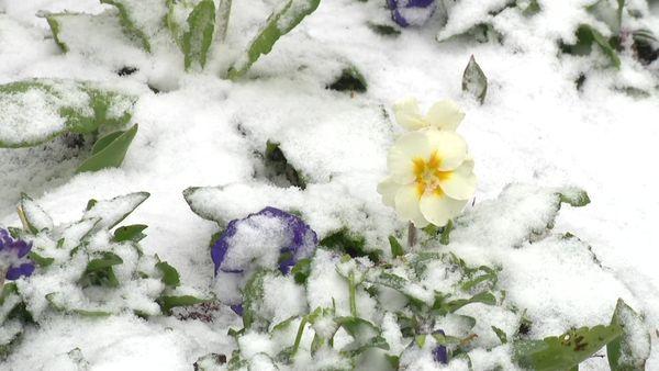 La neige et sa poésie sur un pare-terre de fleurs ce matin.