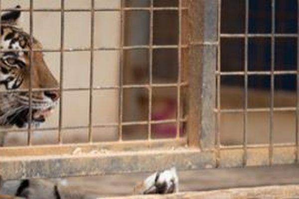 L'association PAZ demande l'interdiction à terme de tout animal dans les cirques.