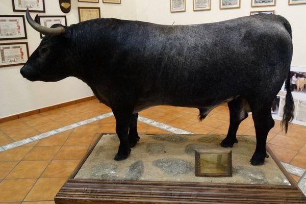 """Velador (quelquefois nomme """"Belador"""") naturalisé, tel qu'on peut le vor dans le musée de Victorino Martín"""