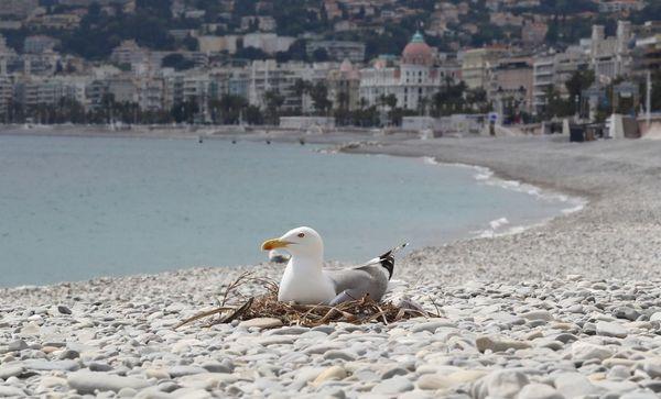 Un nid de goéland observé sur la plage de galets de Nice le 27 avril durant le confinement !