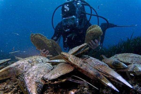 En mer, dans 99% des cas les grandes nacres ne survivent pas au parasite.