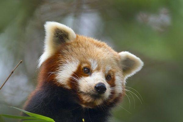 Un panda roux du zoo de Saint-Martin-la-Plaine s'est échappé à la faveur de l'épisode de neige du 14 novembre dernier (archives)
