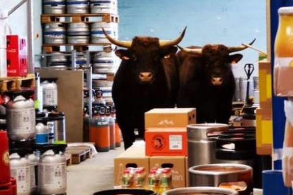 Les deux taureaux échappés de l'abattoir de Besançon.