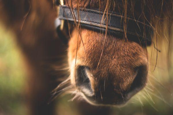 Un poney est mort par strangulation à La Ferrière en Vendée