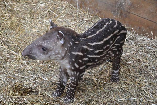 Le petit tapir de Planète sauvage, janvier 2019
