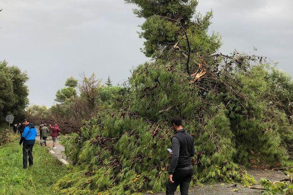 29/10/2018 - Sortie du sud de la commune d'Aleria (Haute-Corse), des arbres ont été couchés par la tempête Adrian.
