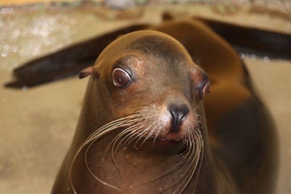 Kai, 10 ans, un des deux nouveaux lions de mer du centre aquatique Nausicaá, à Boulogne-sur-Mer.