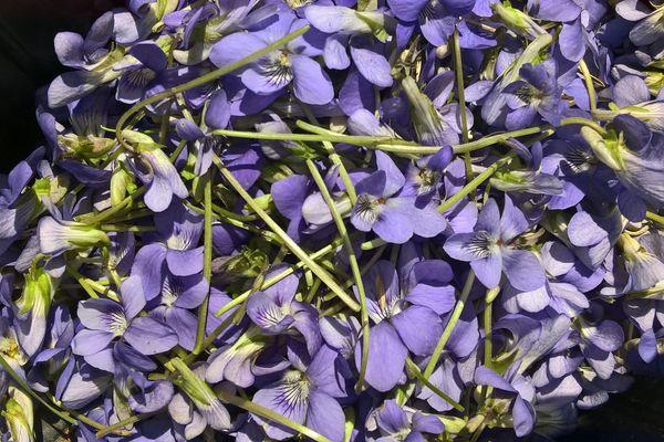 La violette : une délicate alliée-santé parfumée