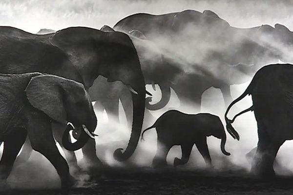 Parmi les exposants au festival de la photo animalière de Montier-en-Der, le photographe Kyriakos Kaziras met en garde et sublime le plus grand mammifère terrestre.