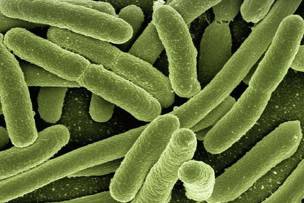 Des bactéries de type Escherichia Coli, très nombreuses dans la flore intestinale humaine, mais dont certaines souches peuvent être pathogènes. Photo d'illustration.