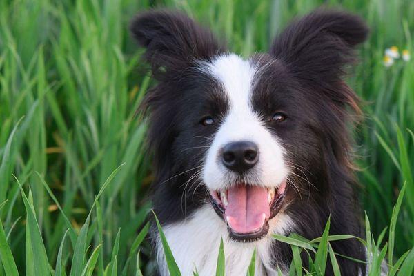 Aujourd'hui, les Border Collie représentent près de 90% des chiens de troupeaux.