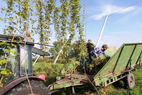 Edouard Hop de la brasserie Thiriez dans le Nord cueille les lianes de houblon.