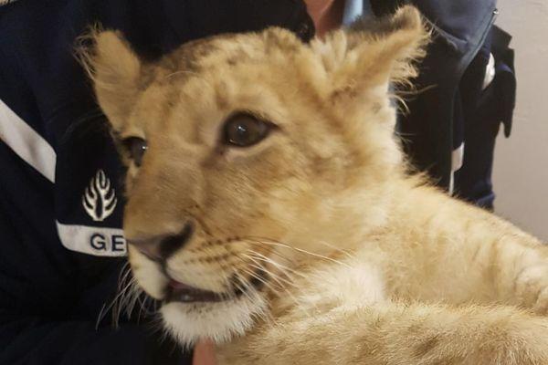 Drôle de mission pour les gendarmes des pyrénées-orientales. Ils ont récupéré un petit lion de quelques mois.