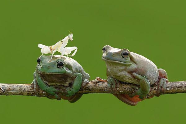 Deux grenouilles à Jombang, Indonésie (et une mante qui ne va tarder à être engloutie)