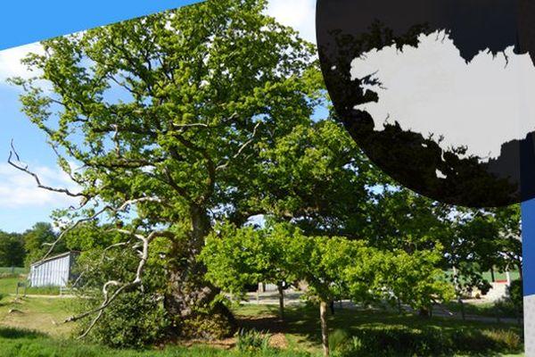 Le chêne de Tronjoly à Bulat Pestivien fait 12 mètres de circonférence.