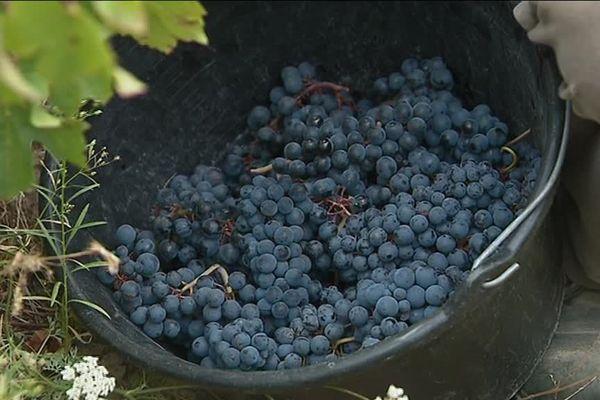 Grappes de raisins récoltés pour concevoir du vin naturel