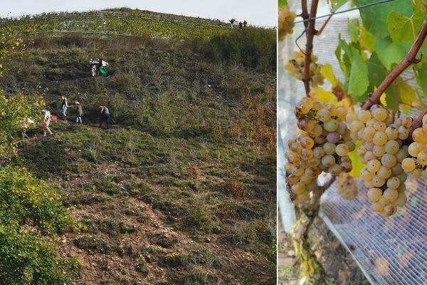 La récolte du raisin a été réalisée ce samedi sur les 3000 pieds de vignes du terril d'Haillicourt.