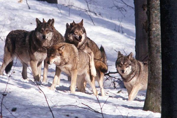 Meute de loups en forêt de Bavière