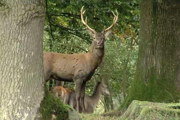 Dans le sud-Manche, le parc animalier de Saint-Symphorien-des-Monts permet d'observer des cerfs