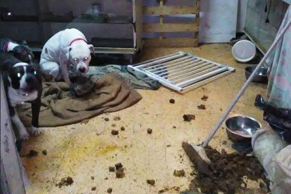 La perquisition à permis de découvrir 8 chiens de race American Staffordshire.