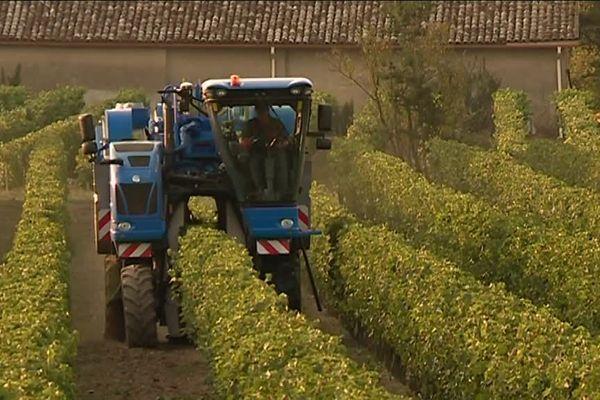 Dans le vignoble Gaillacois, les vendanges se font essentiellement à la machine.