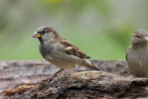 Les études font apparaître qu'en zones agricoles, les populations d'oiseaux ont perdu en moyenne un tiers de leurs effectifs en 15 ans