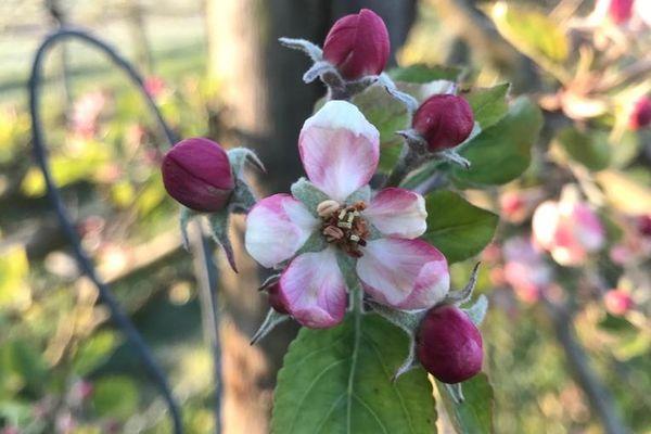 Une fleur ouverte noire, pour la variété de pomme Dalinette