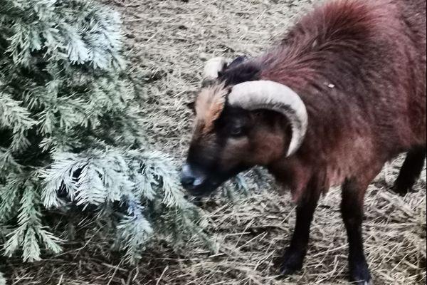 César, l'un des 4 moutons du Cameroun d'Olivia Brelurut se délecte des épines des sapins !