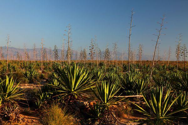 Un champ d'agaves en Espagne