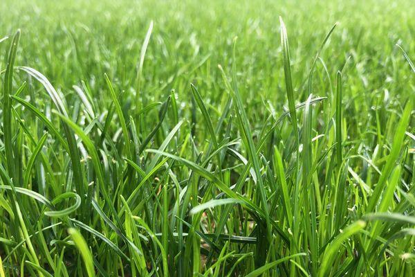 Touffue à souhait : on aurait envie de la fouler pieds nus. Mais marcher sur la pelouse de l'Allianz Riviera est strictement interdit ! Il faut d'abord décontaminer ses semelles...