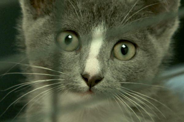 Sophie, adoptée au refuge de la SPA de Carquefou, en Loire-Atlantique comme ailleurs, l'abandon de centaines de chatons est une conséquence inattendue de la crise sanitaire de la CODID 19