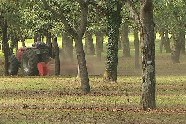 la récolte de la noix de grenoble doit démarrer demain, mercredi 2 octobre.