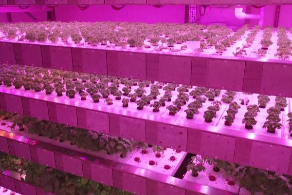 Dans cet entrepôt, l'entreprise Jungle fait pousser des herbes aromatiques et micro-pousses sur des plateaux empilés les uns au-dessus des autres.