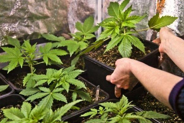 De la production de cannabis à grande échelle dans des appartements de la métropole lilloise