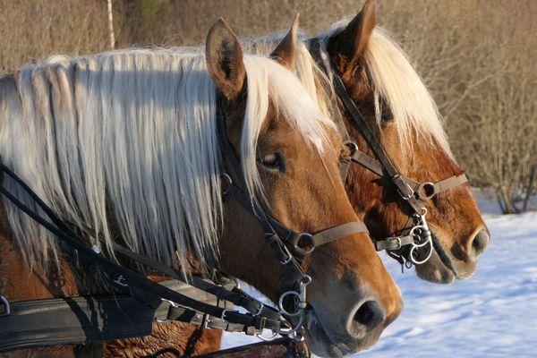 Tarmac et Kid, chevaux comtois des Attelages Aroules